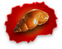 Shell of the Graecoanatolica macedonica snail, which is extinct in Macedonia