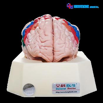 harga Model Zona fungsional Korteks Cerebral
