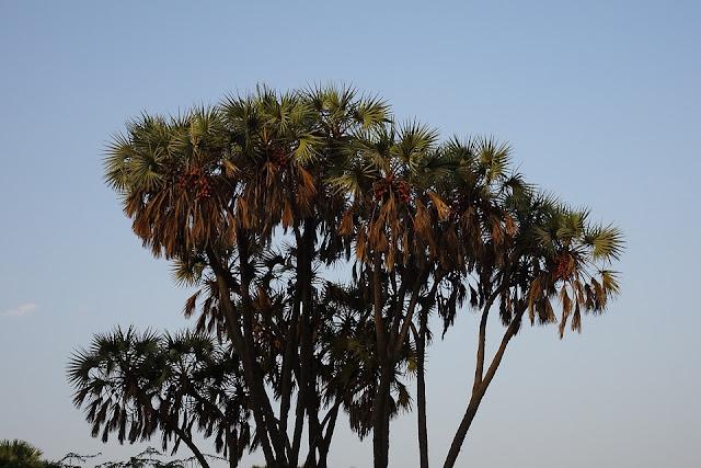 होका पेड़ दीव, hoka tree diu