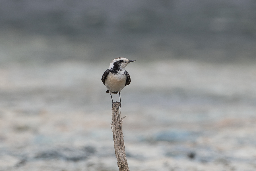 'vittata' form of Pied Wheatear