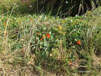 Wild nasturtiums, New Plymouth - North Island, New Zealand