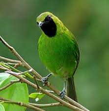 Burung Cucak Hijau, Jenis Burung Berkicau