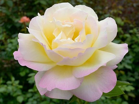 Gloria Dei сорт розы фото