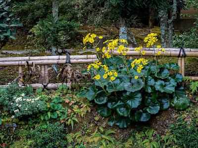 Tsuwabuki (Farfugium japonicum Kitam.) flowers: Tokei-ji