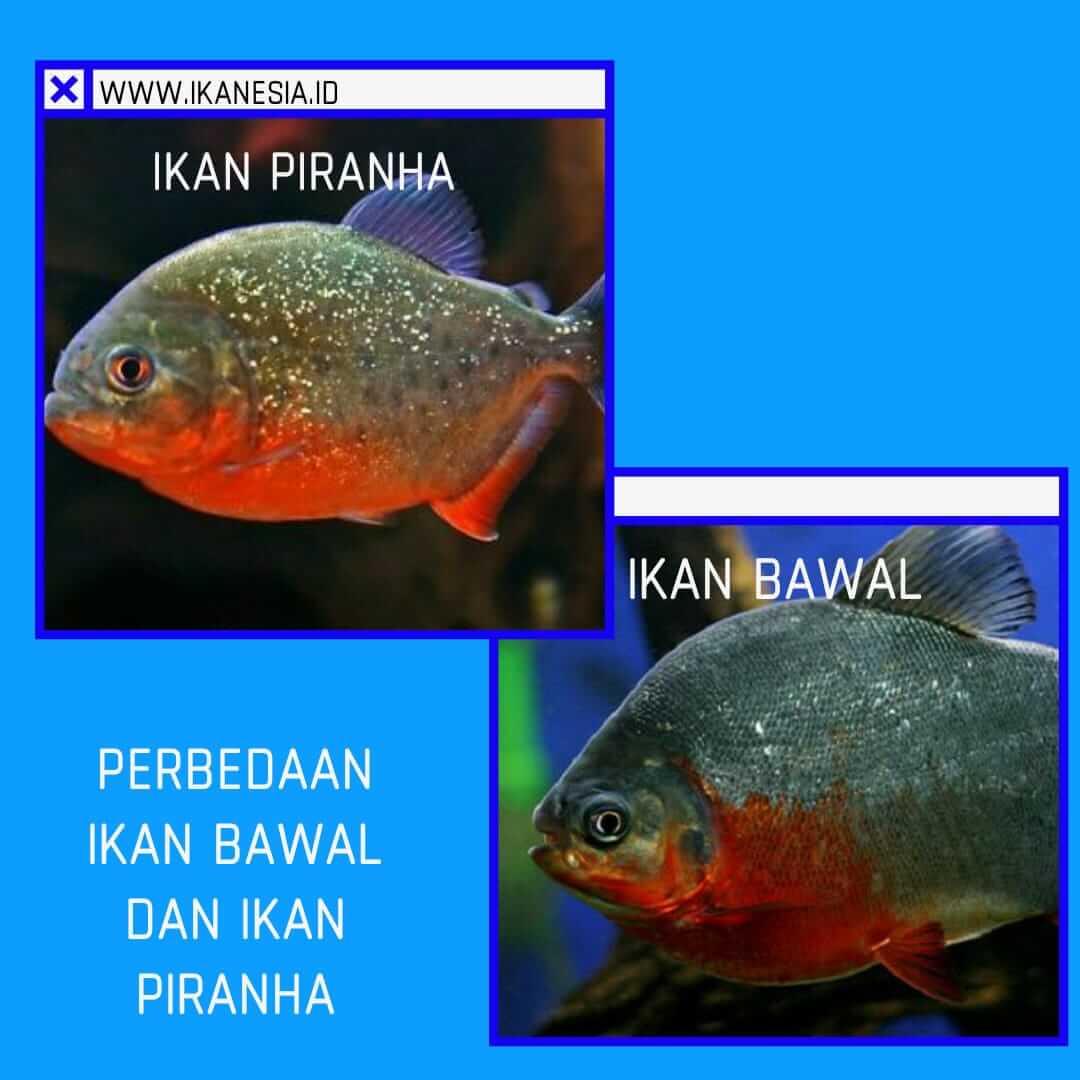 Perbedaan Ikan Bawal dan Ikan Piranha