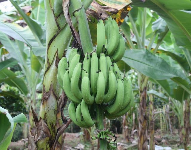 usaha budidaya pisang