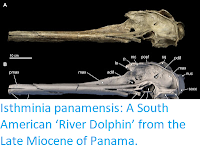 https://sciencythoughts.blogspot.com/2015/09/isthminia-panamensis-south-american.html