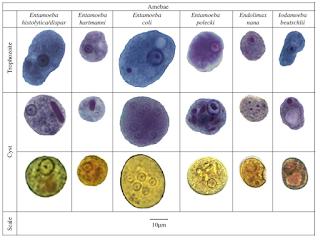 Jenis-jenis Amoeba, Entamoeba histolytica, Entamoeba hartmanni, Entamoeba dispar, Entamoeba colli, Entamoeba polecki, Entamoeba gingivalis, Endolimax nana, Iodamoeba butschlii.