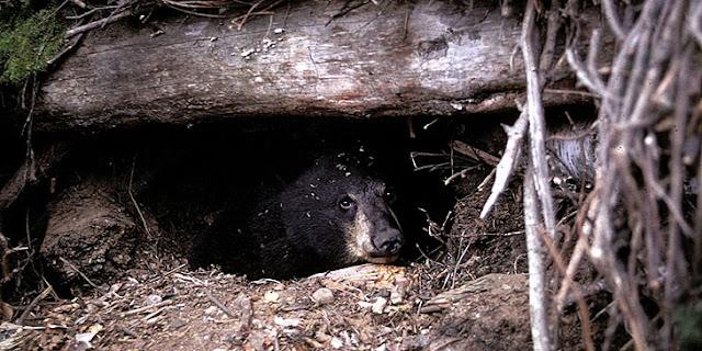 săn gấu ngủ đông là tự sát