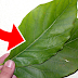 Solo con 2 hojas y 5 minutos para desintoxicar el cuerpo, librartre de la diabetes y limpiar los riñones