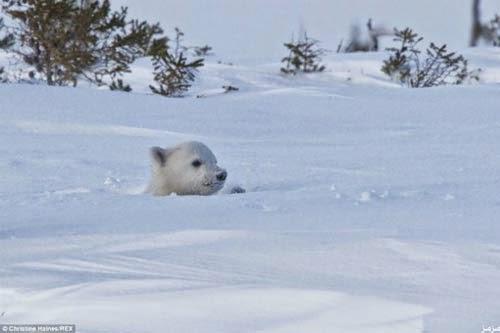 لحظة خروج دب قطبي دفن نفسه 8 أيام وسط الجليد 76224_12964.jpg