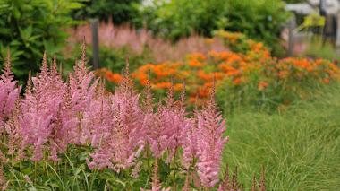 Astilbe: plantas que colorean el verano con sus penachos de flores