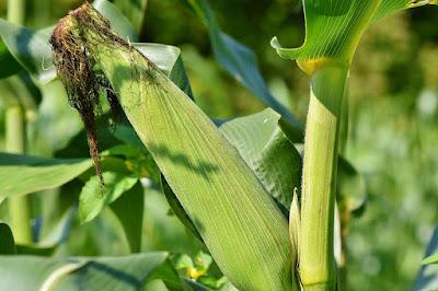 Maize farming in Nigerian  (Practical steps)