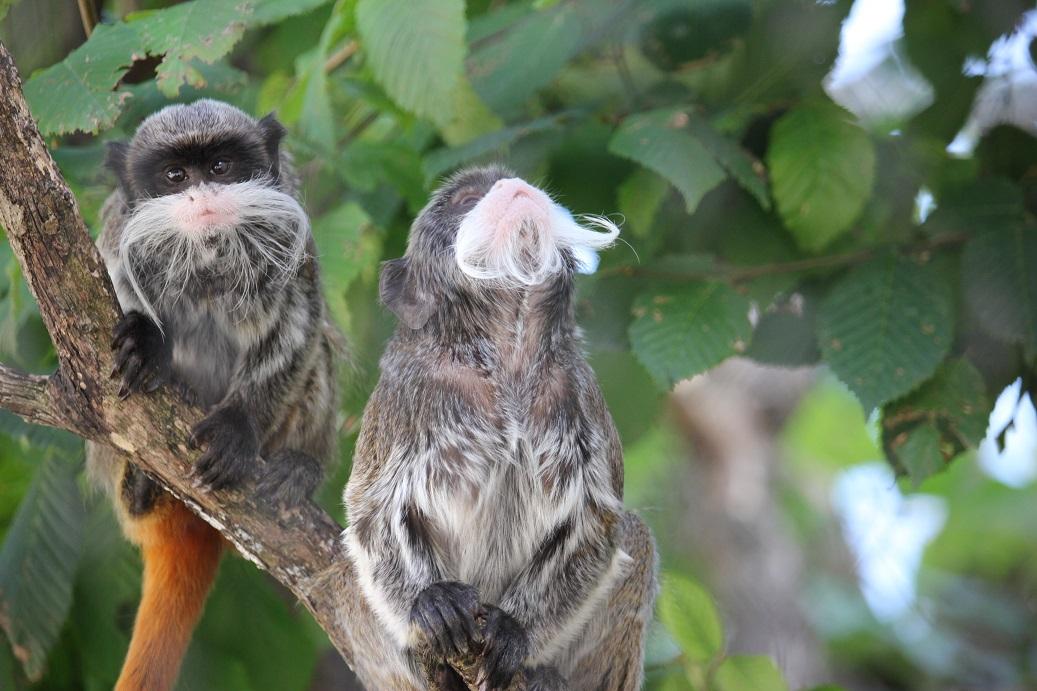 vousaté opičky v zoologické zahradě Schönbrunn