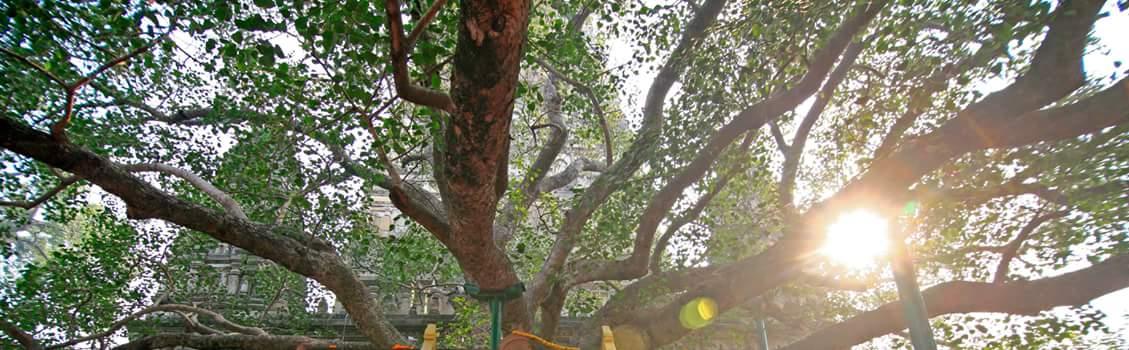WWW.BUDSAS.ASIA  - Cây Bồ đề