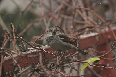 "This photo features a male house sparrow perched on a branch of kiwi vines that surround 3/4 of my garden. He appears to be looking at me and at wet snow which is falling lightly.  A web-page (@ https://www.thespruce.com/house-sparrow-387273) for this bird type describes this bird type by saying, ""Male and female house sparrows look distinctly different. Males have a black chin and bib, white cheeks, and a rust-colored cap and nape of neck. The black on the chin and breast can vary widely, with older, more dominant males showing more extensive black. The underparts are pale grayish, and the back and wings show brown and black streaking. The rump is gray. Males also have a single white wing bar. Females are plainer, with a broad buff eyebrow and brown and buff streaks on the wings and back. On both genders, the legs and feet are pale and the eyes are dark. Overall, both males and females have a stocky appearance. Juveniles resemble adult females but with less distinctive markings and a less defined eyebrow."""