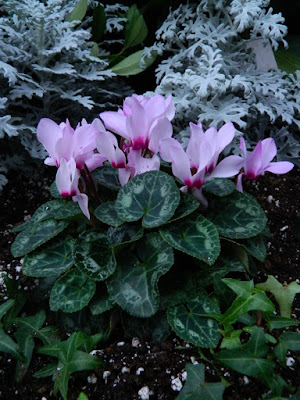Allan Gardens Conservatory 2017 Christmas Flower Show pink cyclamens by garden muses-not another Toronto gardening blog