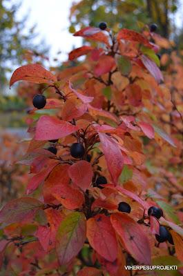 Kiiltotuhkapensas syksyllä
