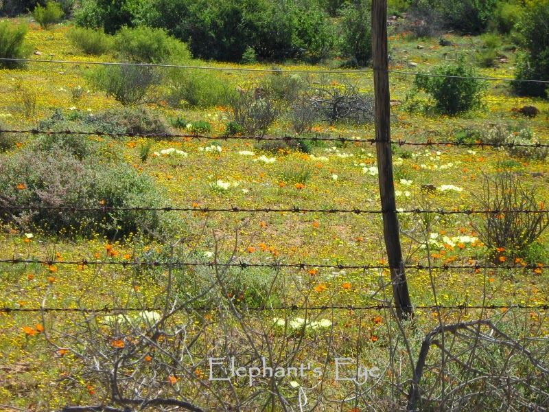 Field of Namaqua flowers September 2008