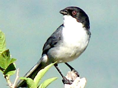 nido de Monterita cabeza negra Poospiza melanoleuca