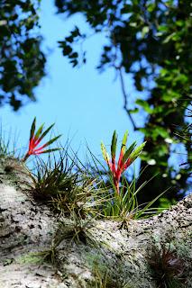 Bromeliads in Costa Rica