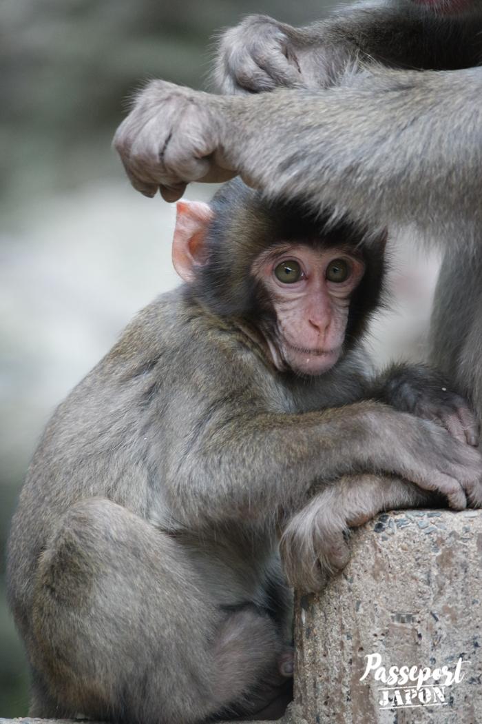 Portrait d'un jeune singe, parc Takasakiyama, Oita