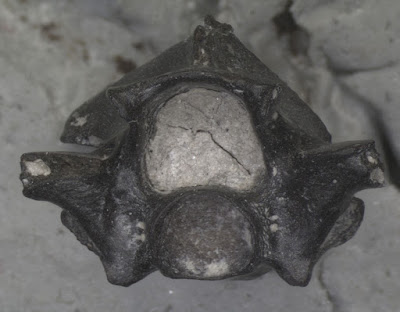 «Παραξενόφις» & «Περιεργόφις»: Δύο φίδια 6.000.000 ετών που υπήρχαν μόνο στις Σέρρες