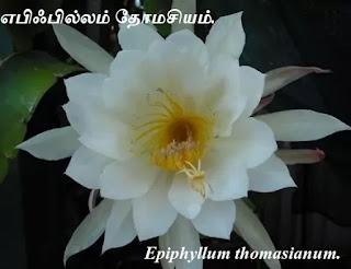 Epiphyllum Thomasianum flower