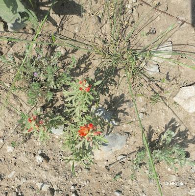scarlet globemallow. Sphaeralcea coccinea