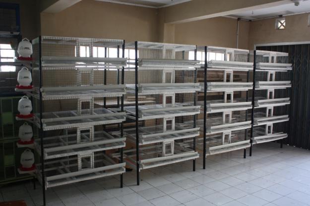 bibit puyuh unggul berkualitas Yogyakarta