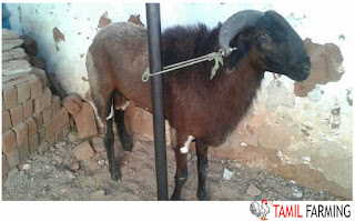 goat farming in Tamil Nadu, aadu valarpu, ஆடு வளர்ப்பு, ஆட்டு பண்ணை, adu valarpu, attu pannai, aadu valarpu tamil, aadu valarpu pannai
