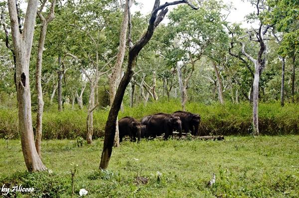 elefanti-in-libertate-India