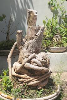 bonggol bonsai mati