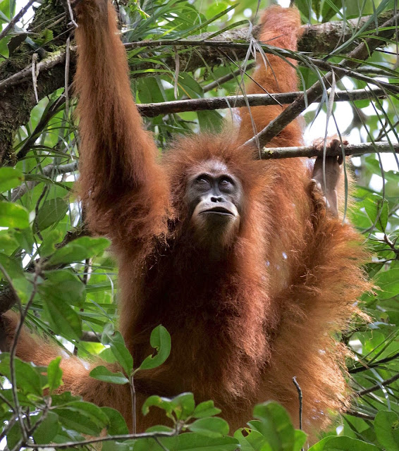 World's rarest ape on the edge of extinction