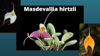 Masdevallia hirtzii