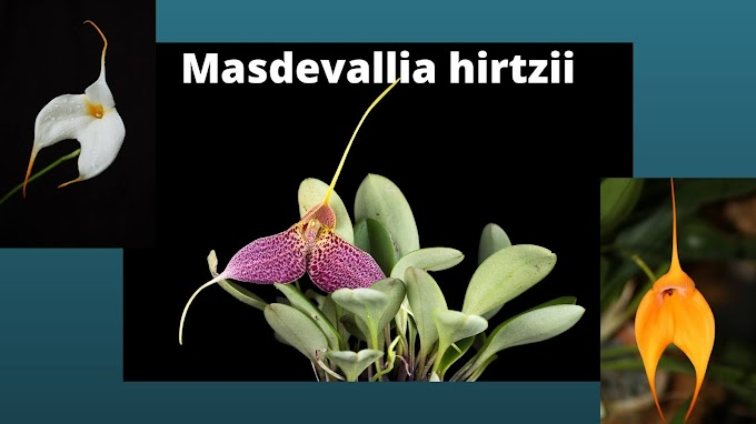 Small and Colorful Masdevallia hirtzii | Best choice for Indoor Miniature Orchid