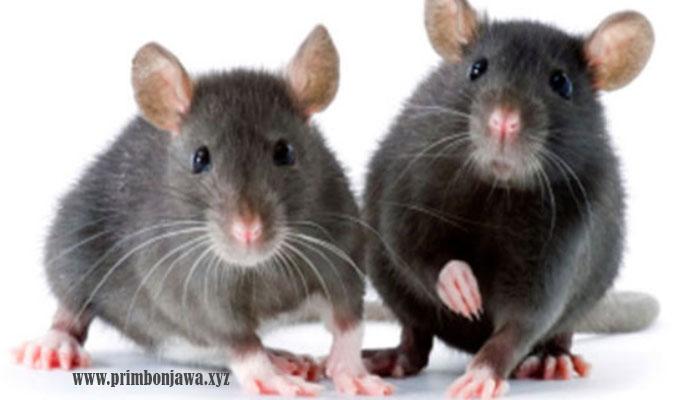 22 Arti Mimpi Tikus Lengkap Dengan Maknanya Menurut Primbon Jawa.