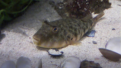 Northern Puffer