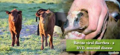 Bovine Viral Diarrhea