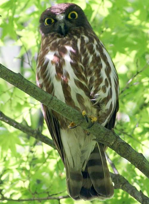 Indian birds - Picture of Brown hawk-owl - Ninox scutulata