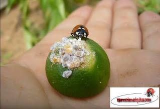 coccinella-septempunctata-comiendo-cochinilla