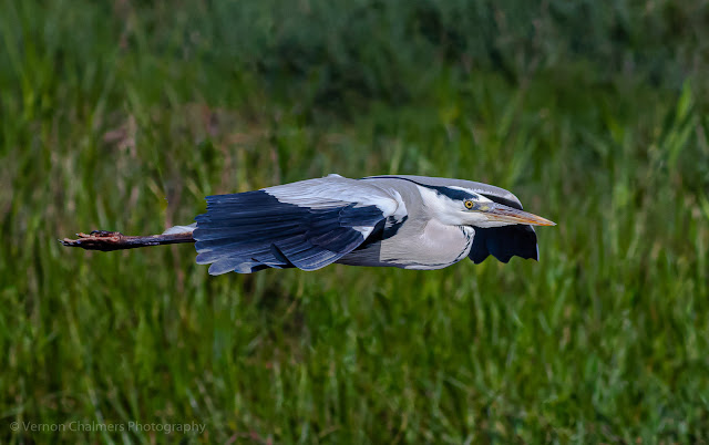 Low flying grey heron - Table Bay Nature Reserve