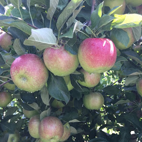 orchard, skytop orchard, apple picking