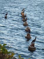 Cormoranes de doble cresta