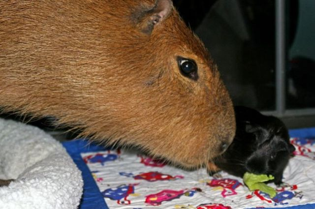 My Album Caplin Rous Is The Biggest Hamster In The World