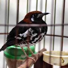 Penyebab Kegemukan Pada Burung Anis Kembang