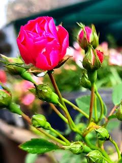 rose image