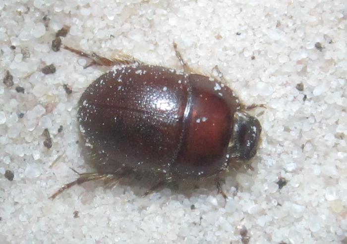 C.ciliatus%25232.JPG