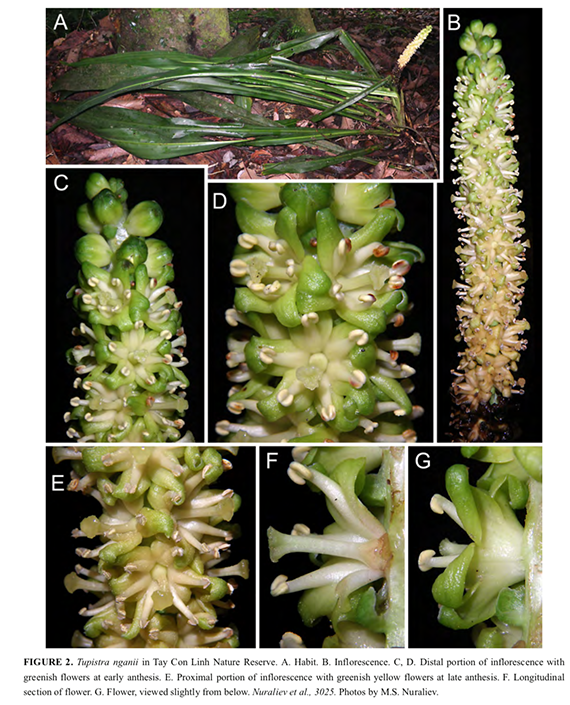 FIGURE 2. Tupistra nganii in Tay Con Linh Nature Reserve. A. Habit. B. Inflorescence. C, D. Distal portion of inflorescence with greenish flowers at early anthesis. E. Proximal portion of inflorescence with greenish yellow flowers at late anthesis. F. Longitudinal section of flower. G. Flower, viewed slightly from below. Nuraliev et al., 3025. Photos by M.S. Nuraliev.