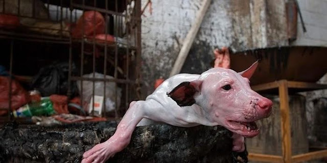 Annual Dog-Meat Festival of China Begin, Activists Hope It's The Last One